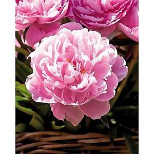Paeonia - Summer Bloom Bulbs