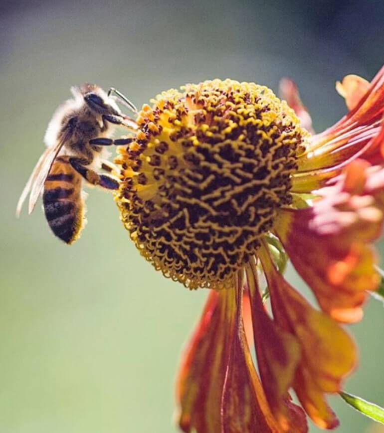 A bee landing on top of a flower