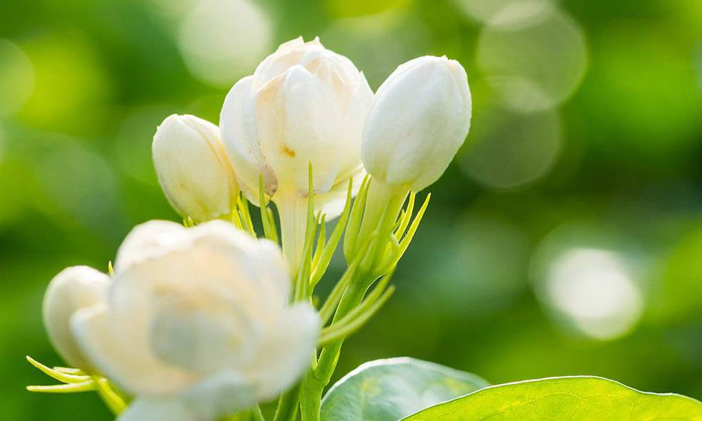 White Flowers budding in spring