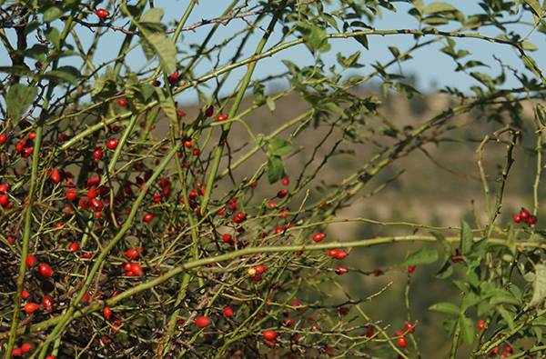 Why our skin loves rosehip