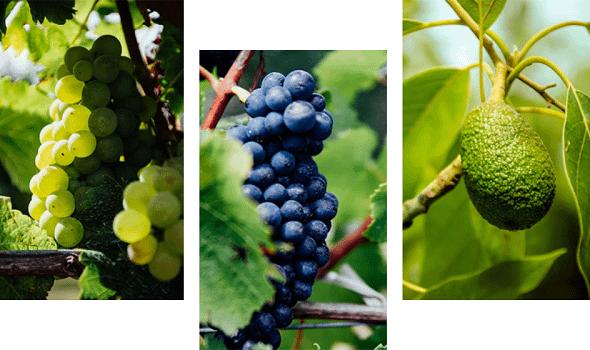 Grapes and an avocado