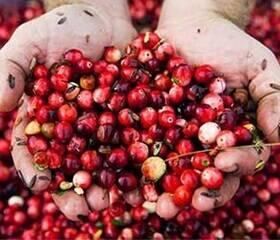 Zwei Hände gefühlt mit Cranberry-Samen.