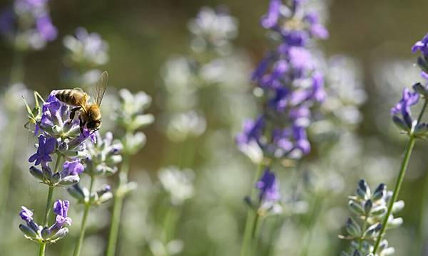 A bee landing on a lavender plant