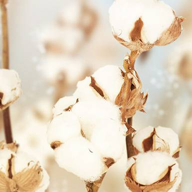 about cotton extract