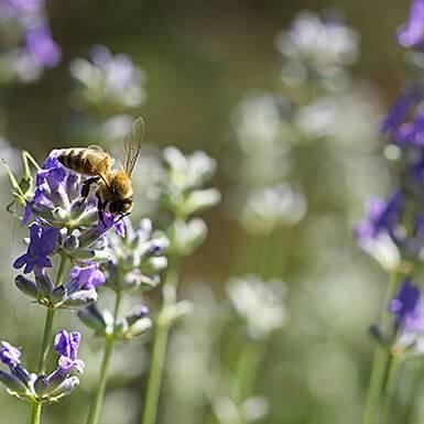 about lavender