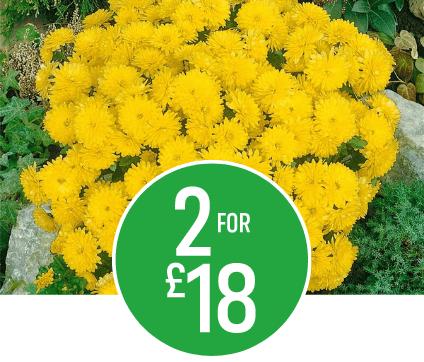 2 for £18 Large Chrysanthemum Ball 50cm