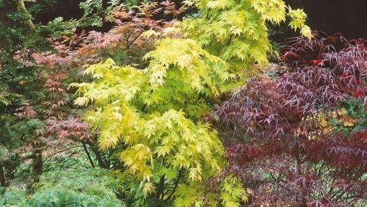 Acer Trees