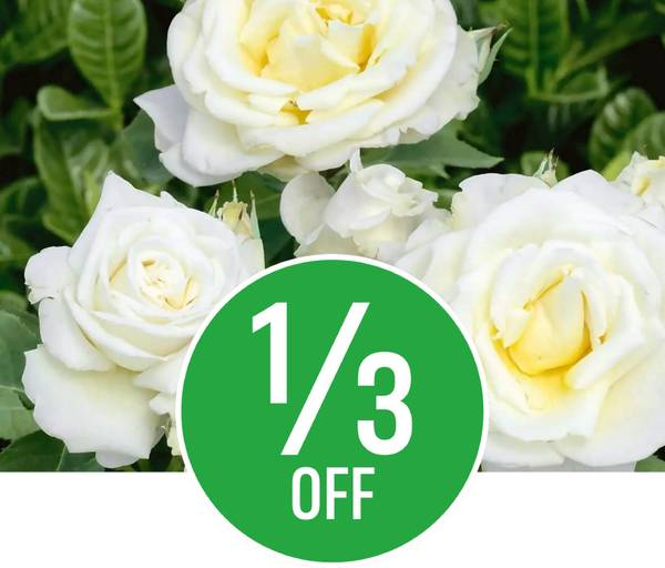 1/3 off Roses