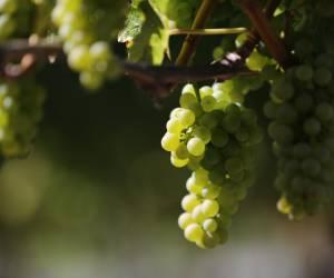 Vinanza® Grape & Kiwi