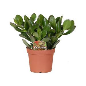 Crassula (Money Tree)