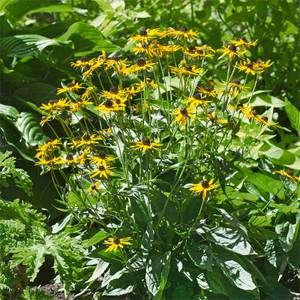 Rudbeckia Little Goldstar - 3L