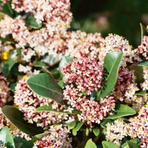 Small Skimmia Rubella Evergreen Shrub