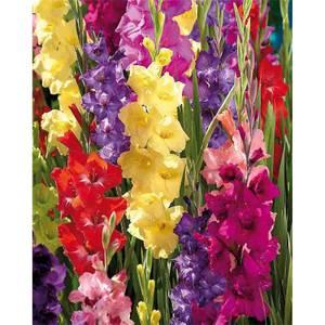 Mixed Gladioli - Summer Bloom Bulbs