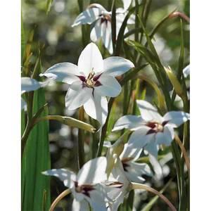 Gladiolus Callianthus - Bicolour - Summer Bloom Bulbs