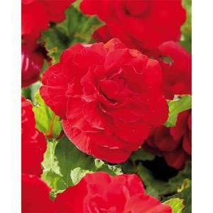 Begonia - Red - Summer Bloom Bulbs