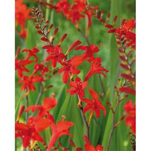 Crocosomia Lucifer - Summer Bloom Bulbs