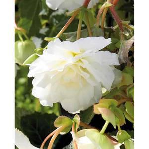 Begonia - White - Summer Bloom Bulbs