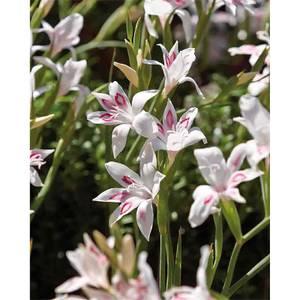 Cornus Mix - 17cm - Summer Bloom Bulbs