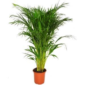 Areca Palm - 19cm