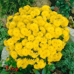 Large Chrysanthemum Ball