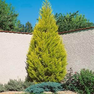 Goldcrest' Monterey Cypress - 23cm