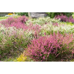 Heather Mix 12cm Calluna Garden Girls