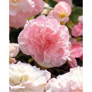 Begonia - Wummi Apfelblute - Summer Bloom Bulbs