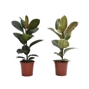 Ficus Robusta/Tineke 17cm