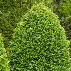 Buxus Bush 17cm