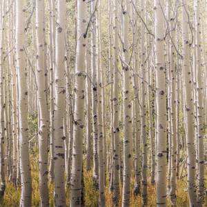 Grandeco Life Digital Mural Birch Tree  - Multi