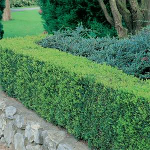 6 Pack of Buxus'