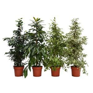 Ficus mix 27cm