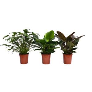 Philodendron Mix 27cm
