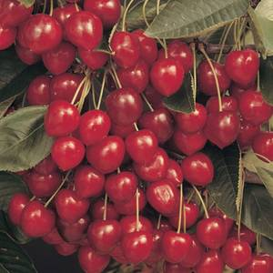 Cherry 'Stella' 7.5L Fruit Plant