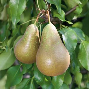 Pear 'Conference'  7.5L Fruit Plant