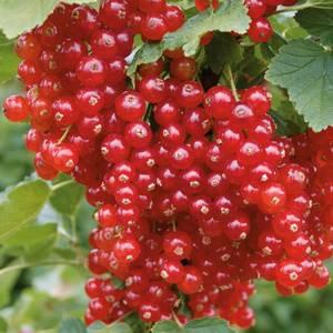 Redcurrant OW 2L Fruit Plant