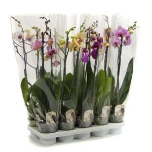 Phalaenopsis Orchid - 12cm (2 Spike)
