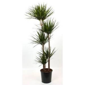 Dracaena Marginata (Dragon Tree) - 30cm