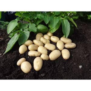 Seed Potato Jazzy 5 Tubers