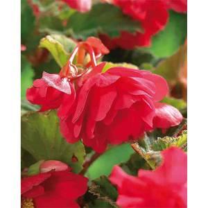 Hanging Begonia Pink