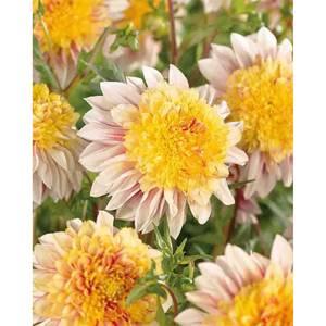 Anemone Flowering Dahlia  Polka