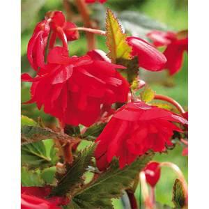 Hanging Begonia  Red