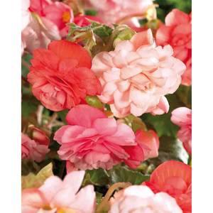 Hanging Begonia Splendid Mixed