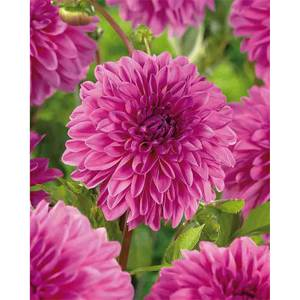 Decorative Dahlia Stratos