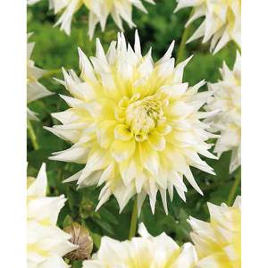 Decorative Dahlia Grand Prix