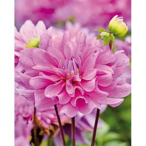 Decorative Dahlia  Bluetifull