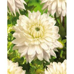 Dinnerplate Dahlia  Kiev