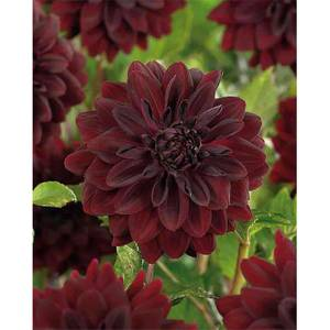 Decorative Dahlia Arabian Night