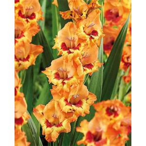 Small Flowering Gladioli Alice