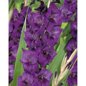 Large Flowering Gladioli Purple Flora